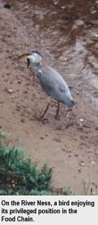 On the River Ness, a bird enjoying its privileged position in the Food Chain
