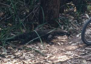 Goanna in the campsite