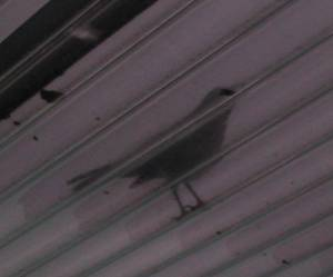 [Bird on the verandah roof]